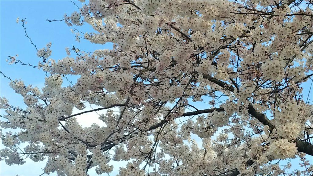 桜シーズン到来!「胸キュン」プラド 怒涛の特売 個性あふれる三者三様のプラドたち!(予告)